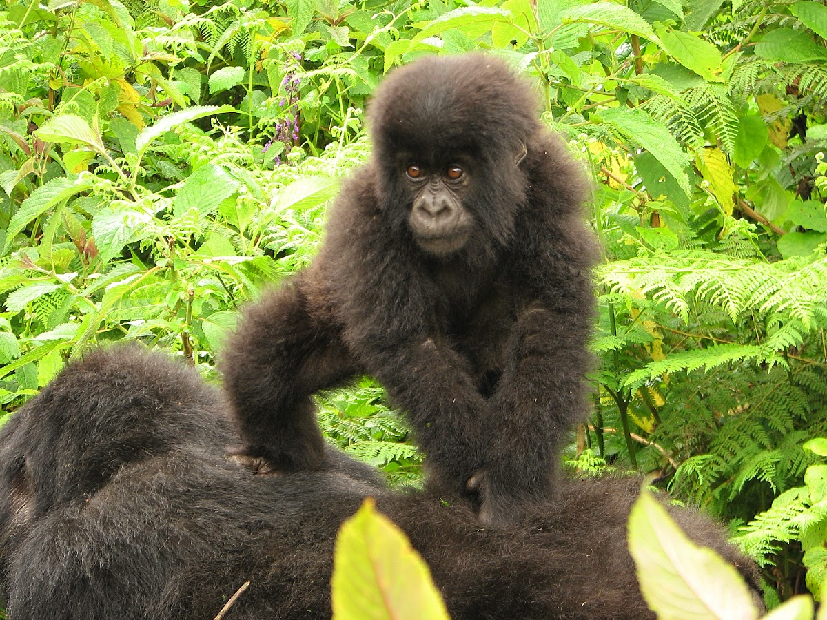 Gorilla young playing on mum's back