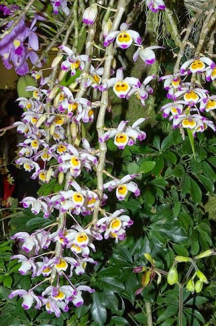 Cách chăm sóc để Hoa lan hoàng thảo nở hoa dịp Tết