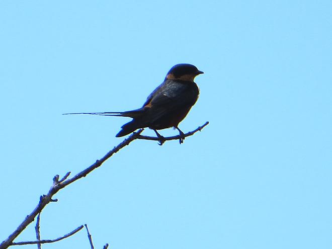 Roodborstzwaluw (Hirundo semirufa), iSimangaliso Wetland Park, Zuid Afrika