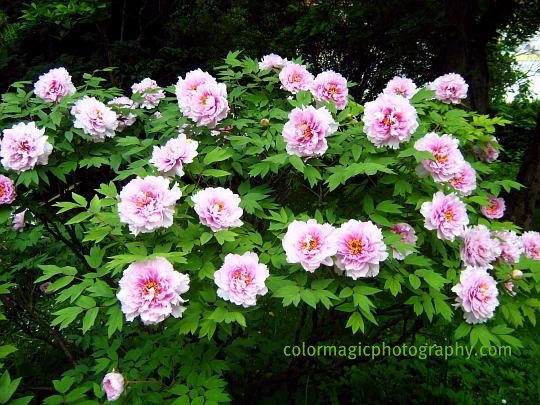 Flowering tree peony