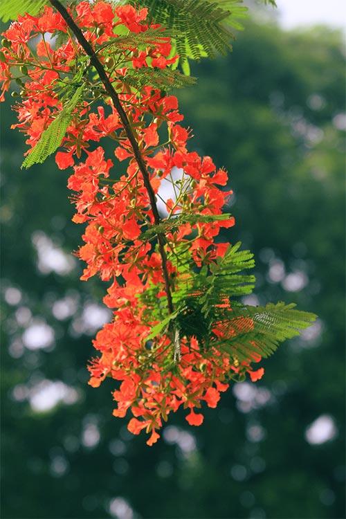 hoa phượng vĩ nở đỏ