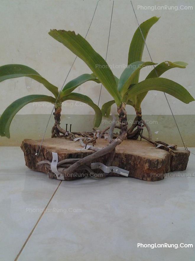 Hướng dẫn ghép lan đơn thân lên gỗ