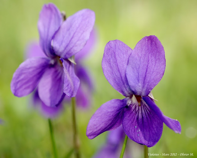 Les violettes - Page 11 _IGP2361-001