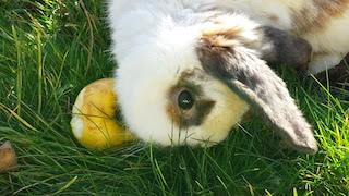 [adoptée] Sunny, lapin bélier courageux Sunny13-2a0be