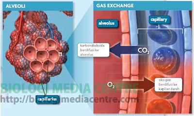 respirasi2 Sistem Respirasi (3) : Respirasi pada Manusia