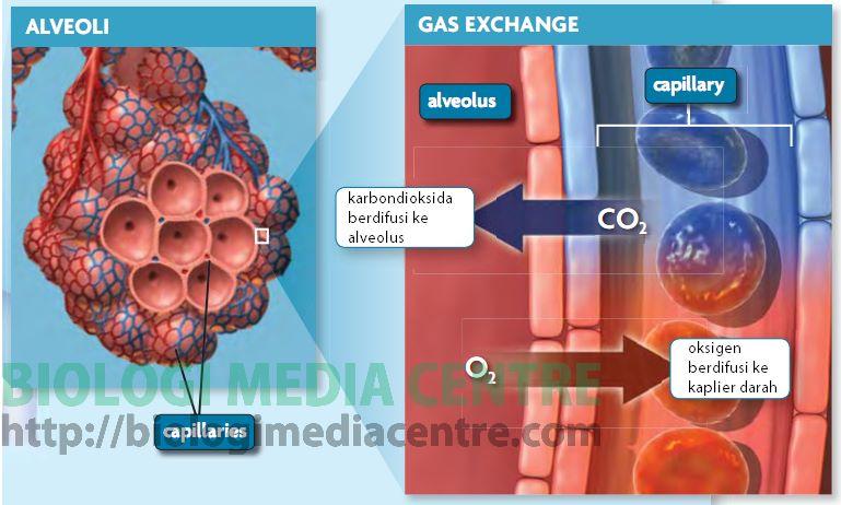 Sistem Respirasi (3) : Respirasi pada Manusia 2