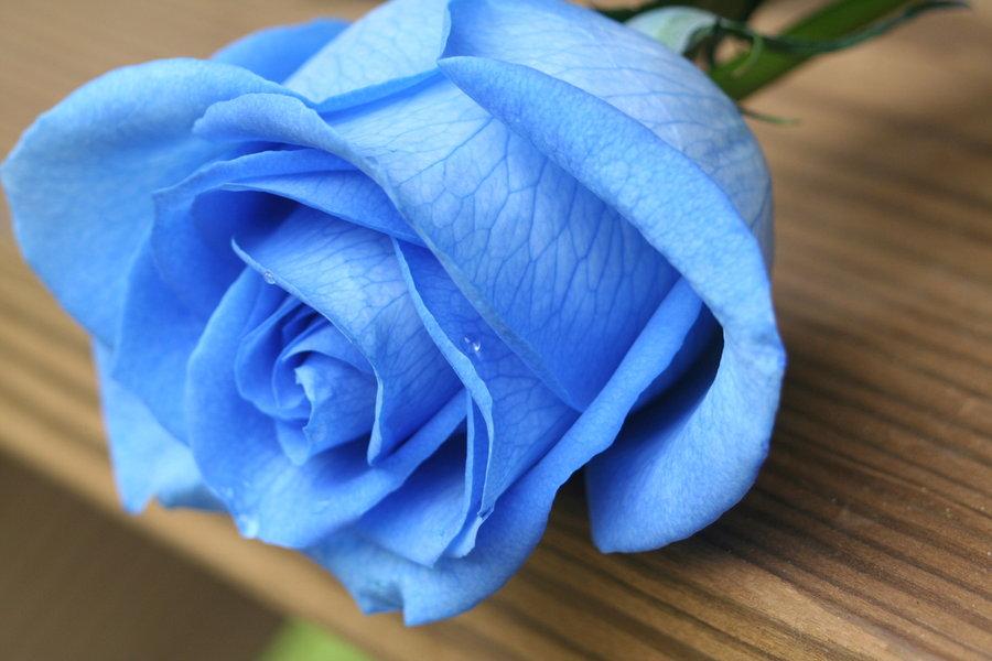 Hình nền hoa hồng xanh