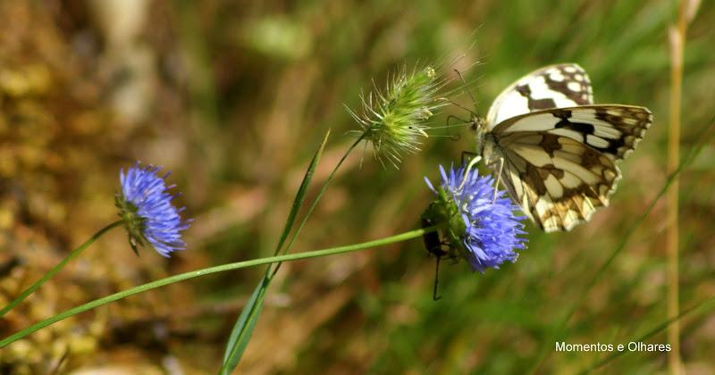 Melanargia lachesis borboleta