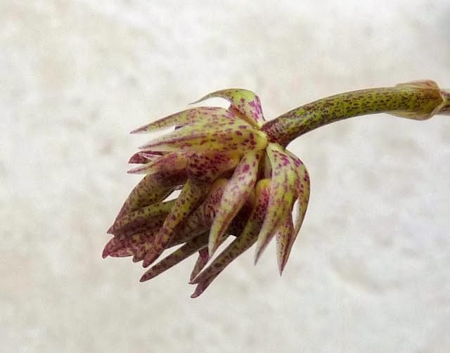 bulbophyllum annamense P1360924