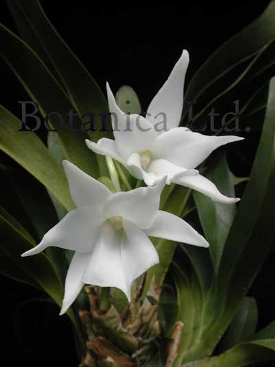 Растения из Тюмени. Краткий обзор Angraecum-magdalenae%252527marisa%252527