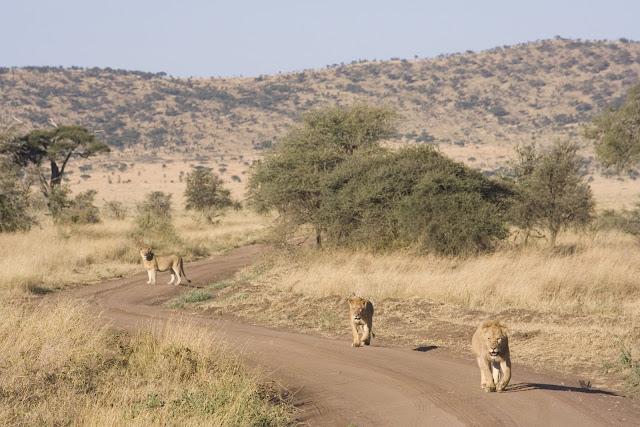 Manada de leones