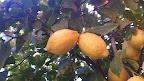 limoni 2.jpg