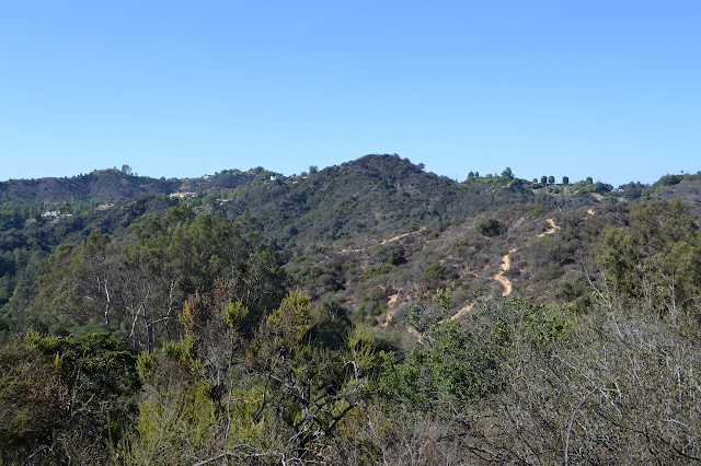 oaks and eucalyptus