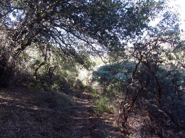 manzanita and live oaks along the trail