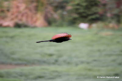 20-May-2012 Greater Coucal Pic: Harish Mahendrakar