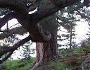 L'arbre géant et sa «trompe»
