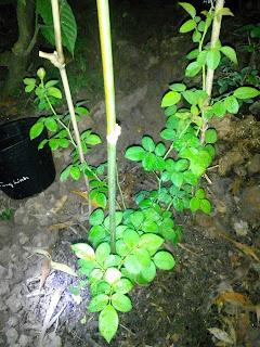 Cây hồng leo khi mới đem về trồng ở Sa Đéc
