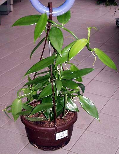 Растения из Тюмени. Краткий обзор - Страница 7 IMGP5258_Vanilla-planifolia