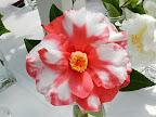 紅色地 白斑入り 八重咲き 大輪