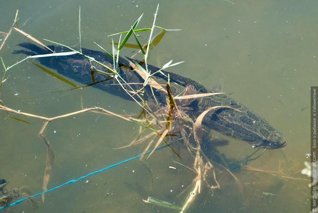 Рыбалка в Узбекистане, змееголов, snakehead