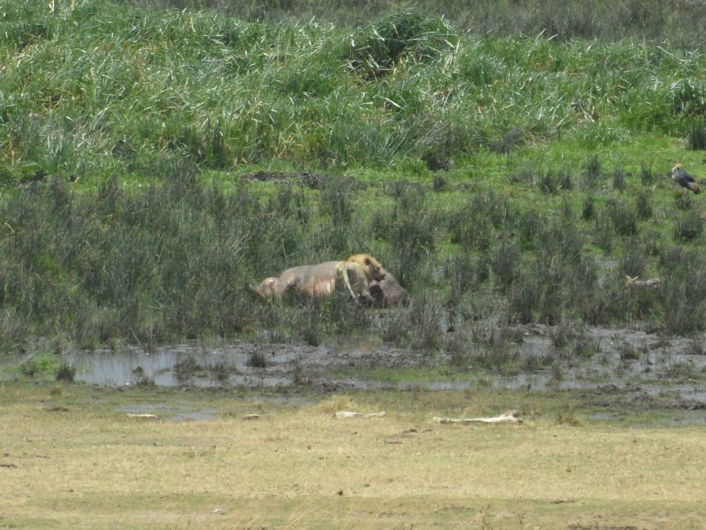 Aslan Ngorongoro'da Hipopotam Yiyor