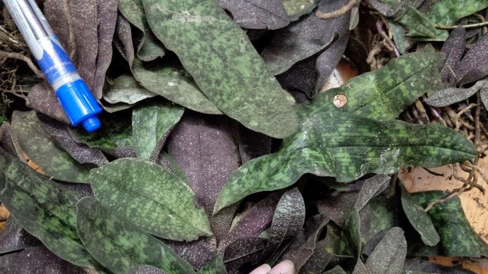 Lá hài ráp mới khai thác thường xấu bẩn, nhưng trồng lâu thid sẽ rất mướt và sạch