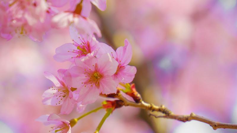 新宿御苑 トウカイザクラ(東海桜)