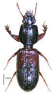 Clivina basalis. Photo: Anonymous Citation: Larochelle A, Larivière M-C 2013. Carabidae (Insecta: Coleoptera): synopsis of species, Cicindelinae to Trechinae (in part). Fauna of New Zealand 69: 193 pp.