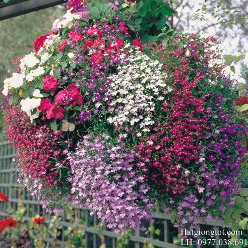 Hoa cúc Lô bê li