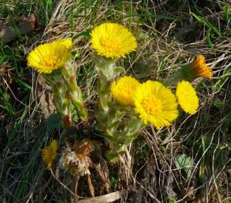Podbiał pospolity kwiaty Tussilago farfara flowers