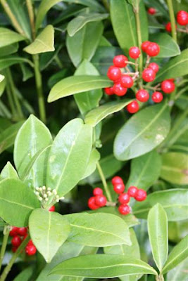 Female skimmia berries