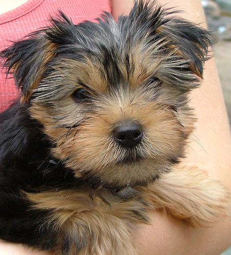 What Dogs Are Mixed To Make A Silky Terrier