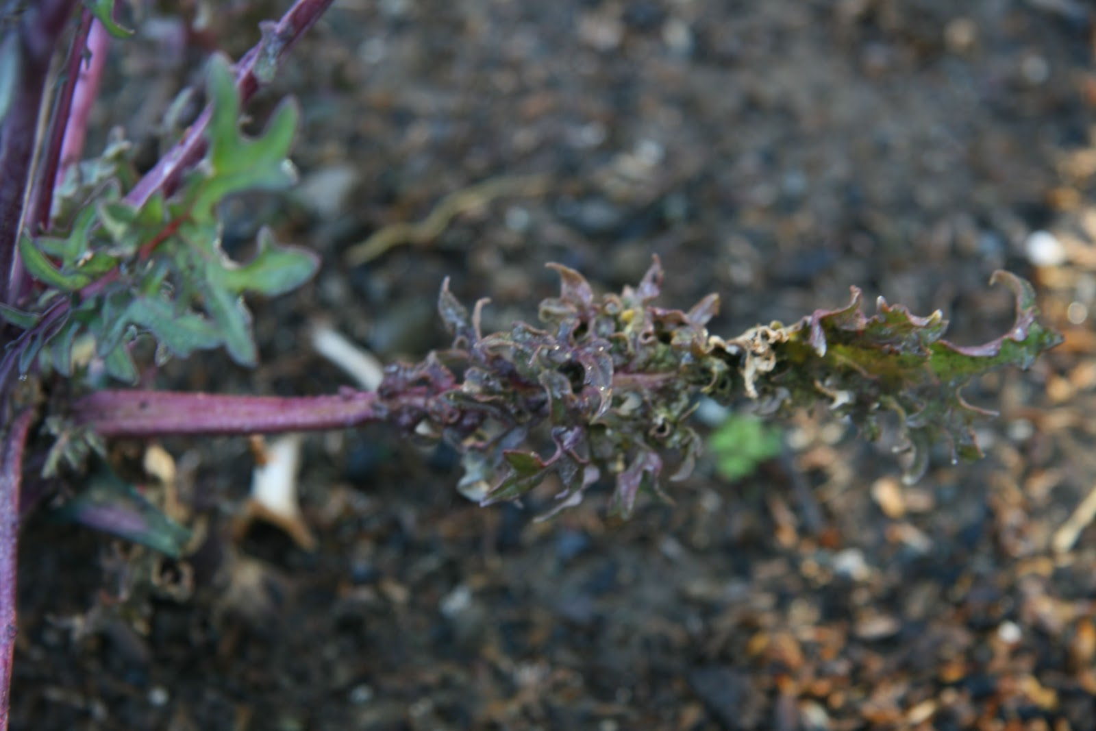 how to kill aphids on kale