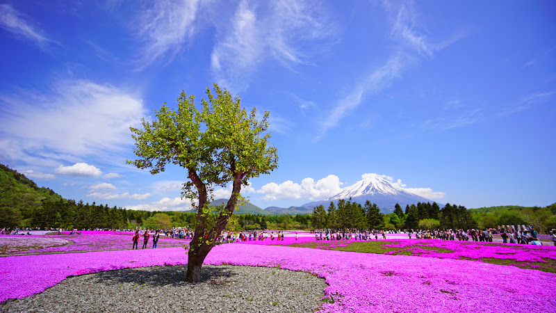 富士芝桜まつり 写真18