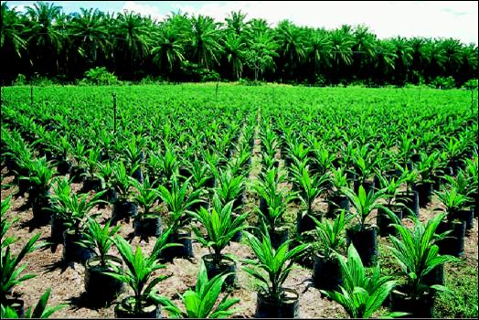 Palma africana de aceite for Viveros en colombia