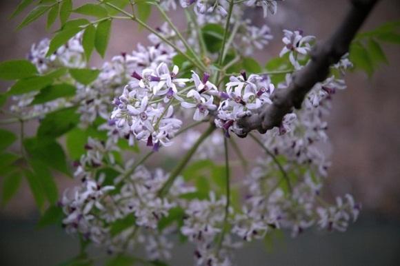 Thơ tháng 3 hoa Xoan nở