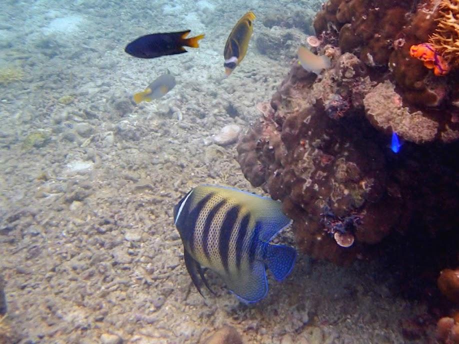 Pomacanthus sexstriatus (Six Bar Angelfish), Miniloc Island Resort reef, Palawan, Philippines.