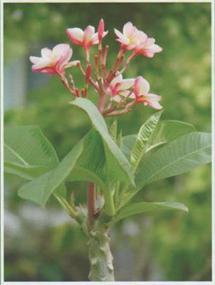 Temple Tree Frangipan Medicinal Plants Healing