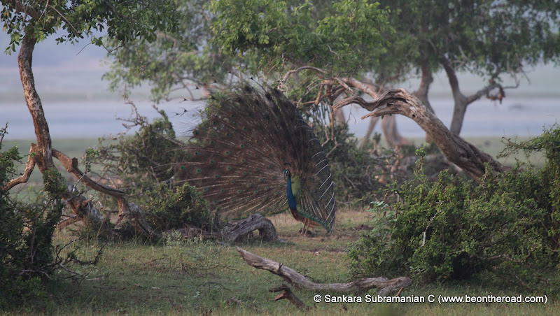 Peacock Mating Dance - 2