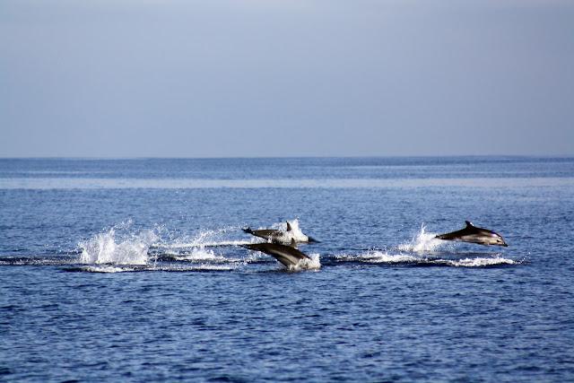 Esses magnificos Cetacios -  Cachalotes - Golfinhos etc IMG_1384