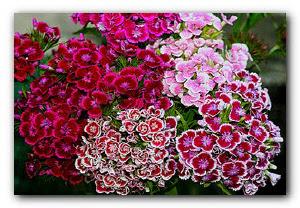 гвоздики цветы.jpg