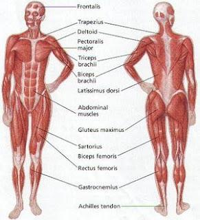 anatomi tubuh manusia http://kulitmuputih.blogspot.com/