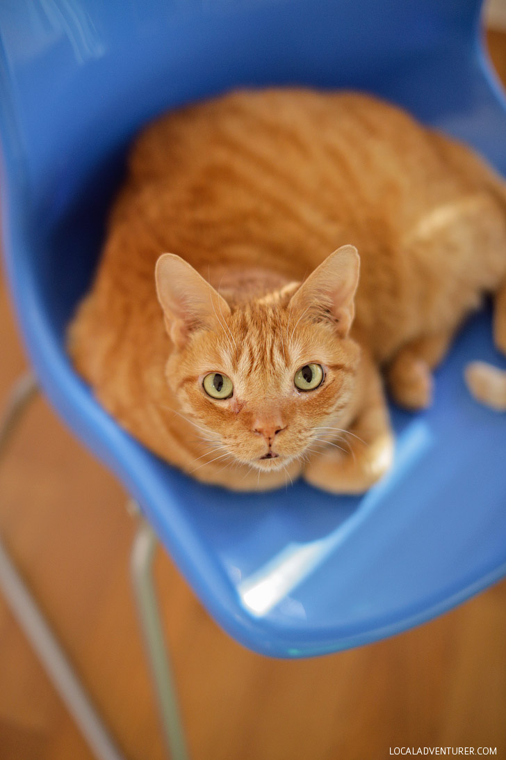 Our Orange Tabbies and National Pet Adoption Month.