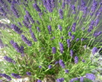 When To Prune Lavender In California