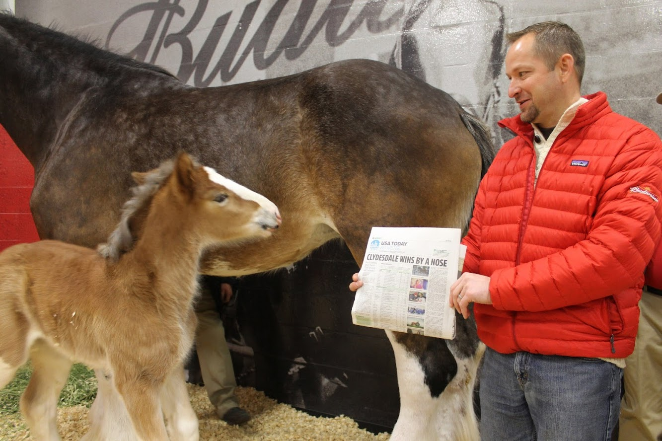 Budweiser's Baby Clydesdale — Famous Foul Has A Name