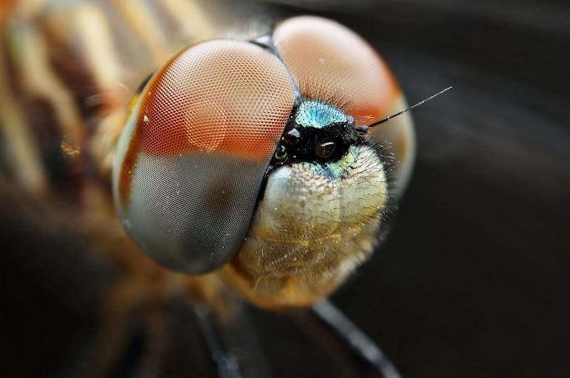 IMAGE: https://lh4.googleusercontent.com/-9fJUgl1O0NA/UX6Ee-OaNgI/AAAAAAAAJt8/iE96pPlO1Ec/s800/Dragonfly%2520130428-01.jpg