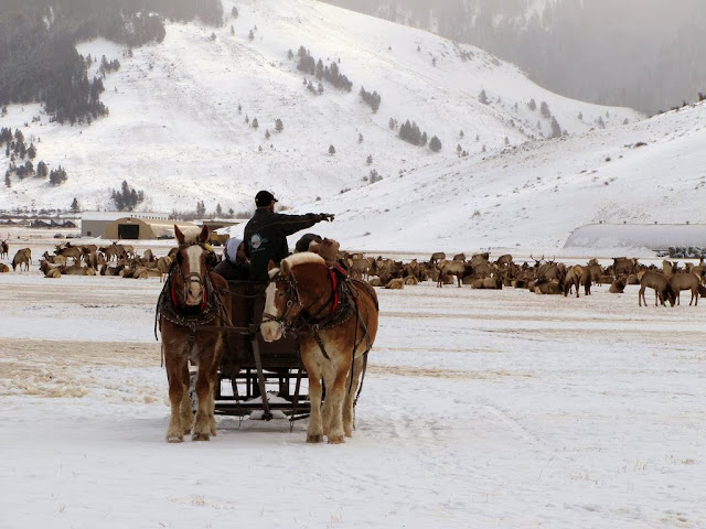 A horse-drawn sleigh ride past wintering elk in National Elk Refuge in Wyoming