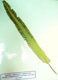 Języcznik zwyczajny Phyllitis scolopendrium