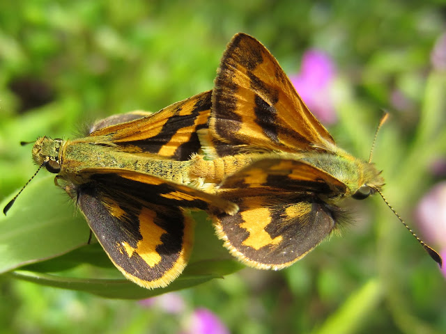moths are joined on a leaf
