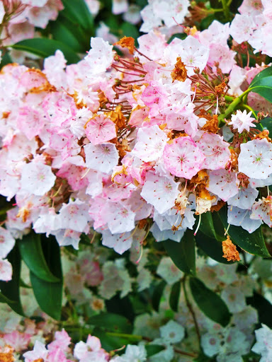31 flowers beginning with l romantic ideas in life laurestine a token mightylinksfo